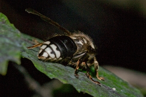 Bald Faced Hornet Back