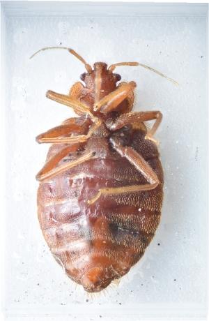 Bed Bug Ventral