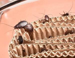 Beetle Cockroaches