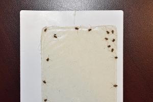 Blattelid Cockroaches