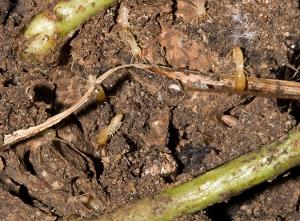 Eastern Subterranean Termite Workers