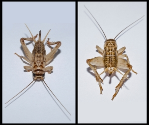 Field Cricket Head and Tail