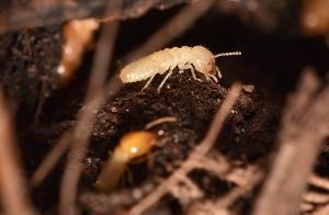 Formosan Termite Worker