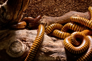 Group of Millipedes