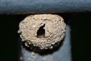 Mason Wasp Nest