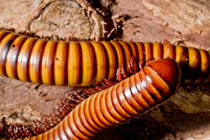 Pair of Millipedes
