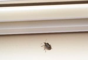 Stink Bug Window Sill