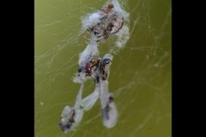 Termite Alates in Spiderweb
